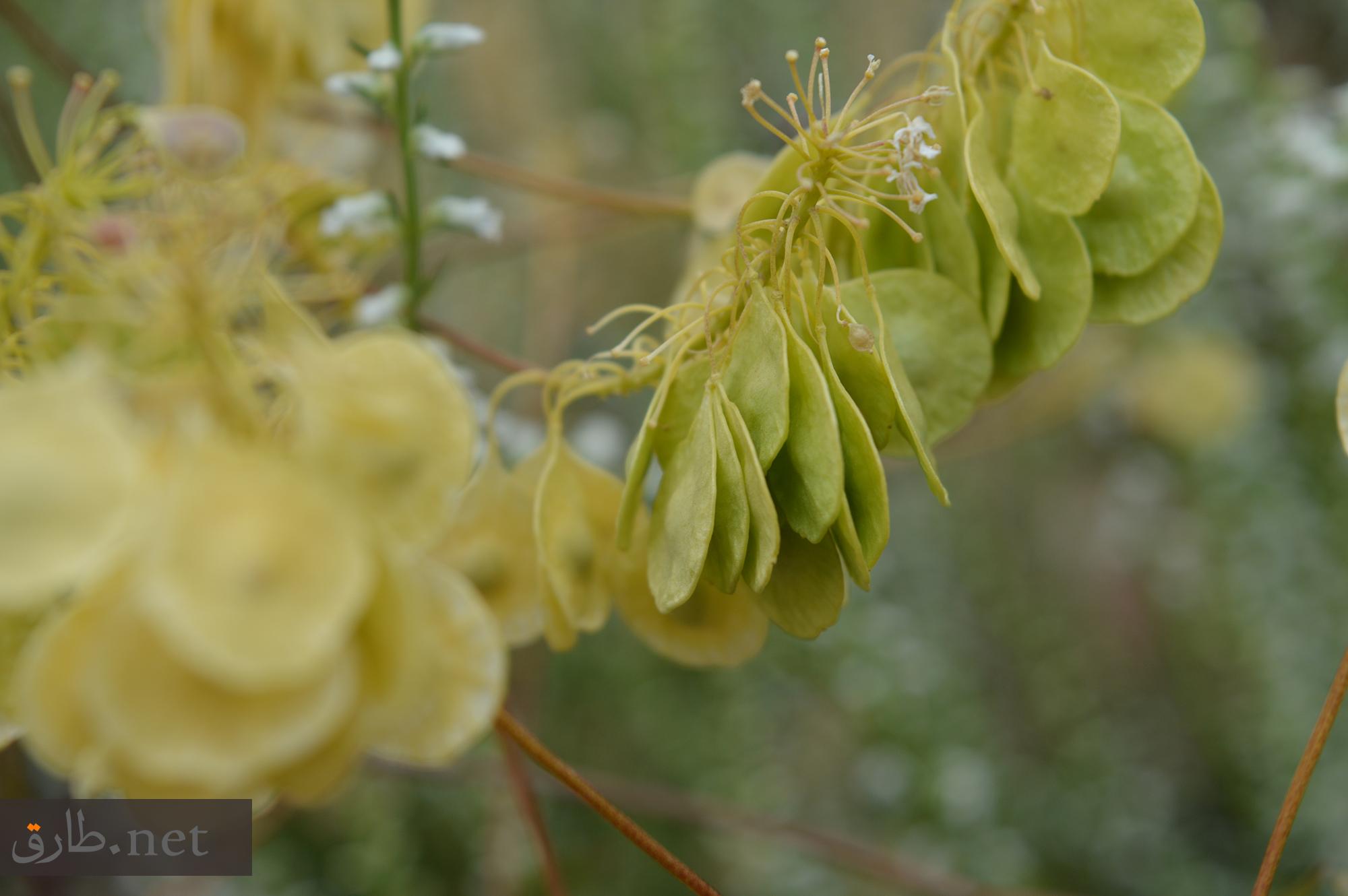 زهور محافظة السويداء في سوريا As-Suwayda (17)
