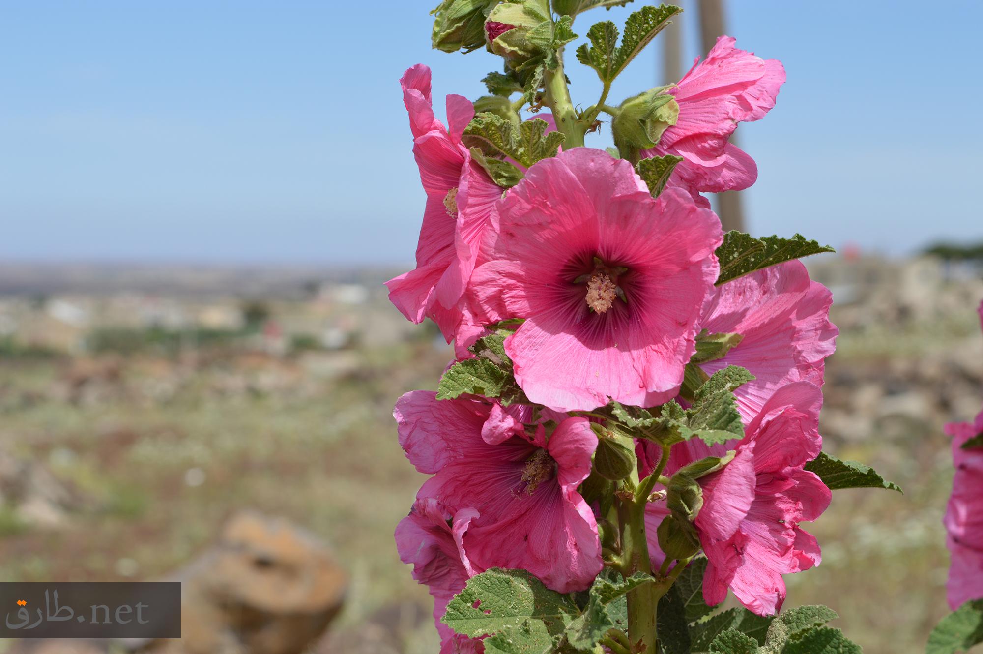 زهور محافظة السويداء في سوريا As-Suwayda (2)