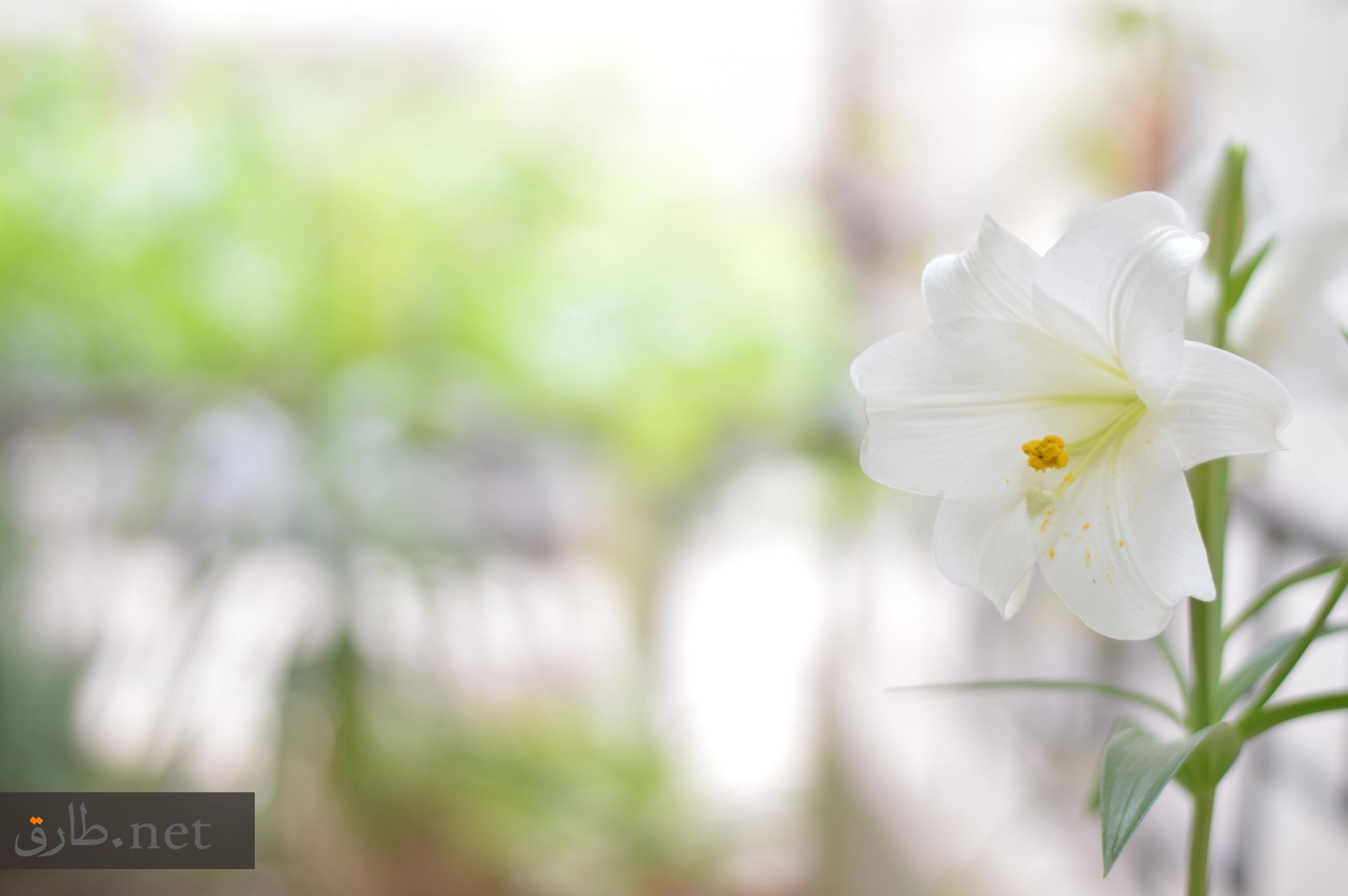 زهور محافظة السويداء في سوريا As-Suwayda (5)