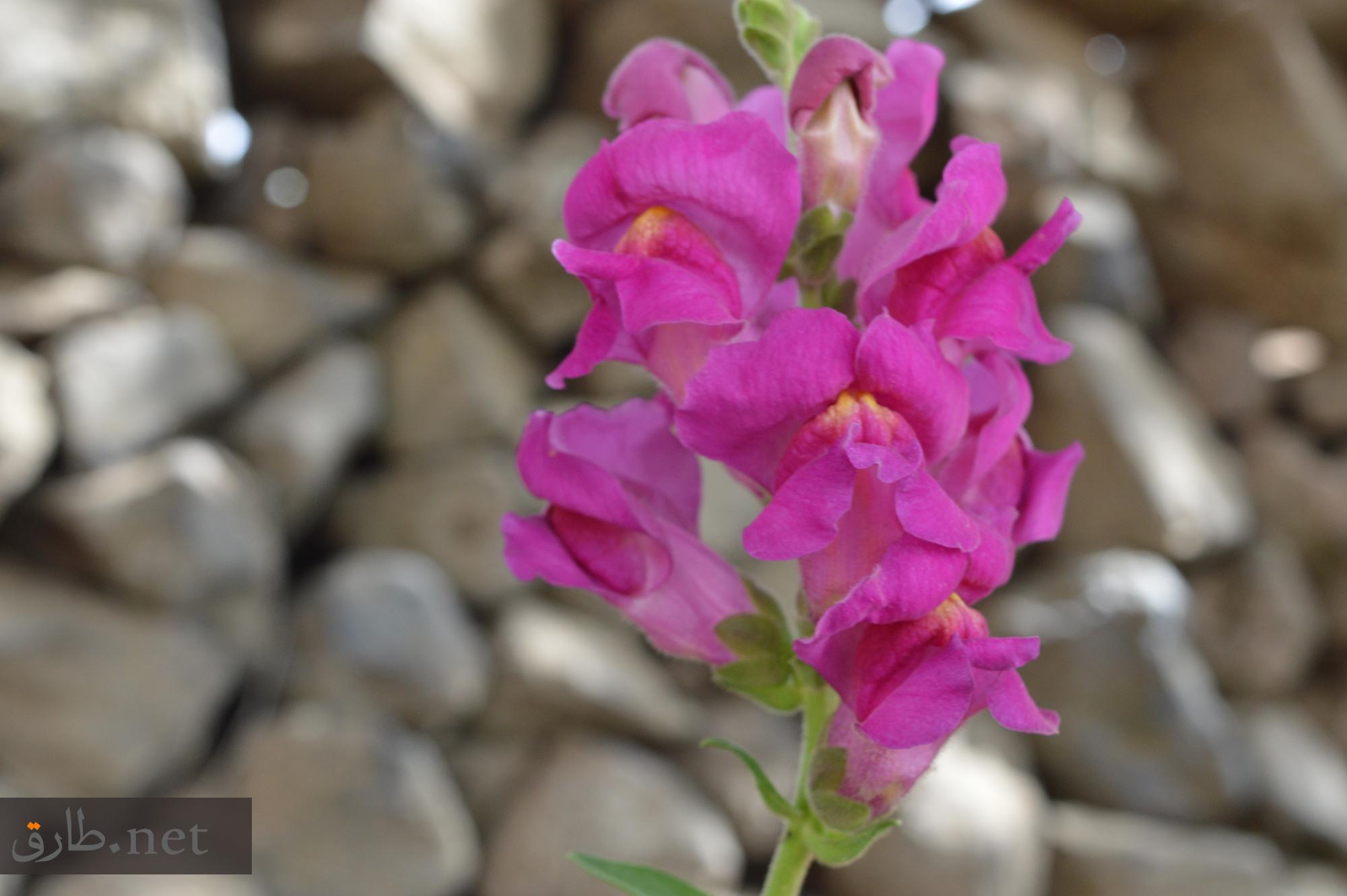 زهور محافظة السويداء في سوريا As-Suwayda (8)
